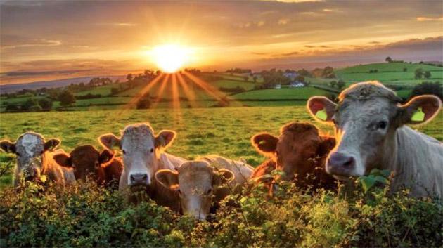 Hollanda, çiftliklerdeki hayvan sayısını azaltacak